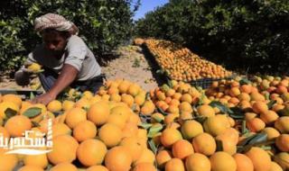 شعبة الخضر والفاكهة بالغرفة التجارية....مخاوف من تأثر محصول البرتقال هذا العام نتيجة العوامل الجوية