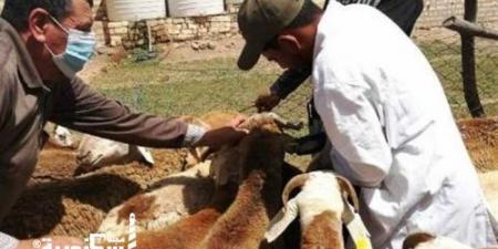 بيطرى الإسكندرية... تحصين 87.6 ألف رأس ماشية وطائر ضد الحمى القلاعية والنيموباك والإنفلونزا